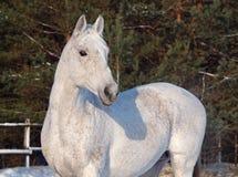 Πορτρέτο του γκρίζου αλόγου Στοκ εικόνες με δικαίωμα ελεύθερης χρήσης
