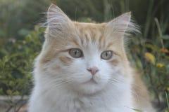 Πορτρέτο του γνωστού tomcat μου Στοκ εικόνες με δικαίωμα ελεύθερης χρήσης