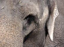 Πορτρέτο του ελέφαντα Στοκ Εικόνες