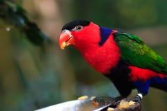 Πορτρέτο του ενιαίου Tricolor παπαγάλου Α, Lorius Lory, που τρώει τα φρούτα στα φυσικά περίχωρα στοκ φωτογραφία