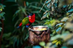 Πορτρέτο του ενιαίου Tricolor παπαγάλου Α, Lorius Lory, που τρώει τα φρούτα στα φυσικά περίχωρα στοκ φωτογραφία με δικαίωμα ελεύθερης χρήσης