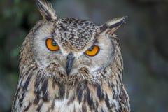 Πορτρέτο του ευρασιατικού bubo Bubo αετός-κουκουβαγιών στοκ εικόνα