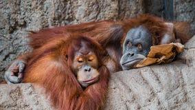 Πορτρέτο του ζεύγους αστείοι και τρυπώντας ασιατικοί orangutans Στοκ φωτογραφίες με δικαίωμα ελεύθερης χρήσης