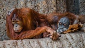 Πορτρέτο του ζεύγους αστείοι και τρυπώντας ασιατικοί orangutans Στοκ εικόνες με δικαίωμα ελεύθερης χρήσης
