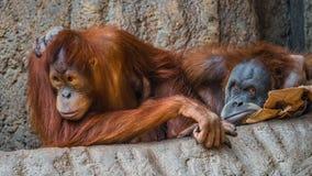 Πορτρέτο του ζεύγους αστείοι και τρυπώντας ασιατικοί orangutans Στοκ Φωτογραφίες
