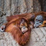 Πορτρέτο του ζεύγους αστείοι και τρυπώντας ασιατικοί orangutans Στοκ φωτογραφία με δικαίωμα ελεύθερης χρήσης
