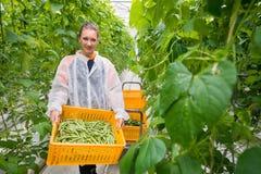 Πορτρέτο του θηλυκού φέρνοντας κλουβιού εργαζομένων θερμοκηπίων με τη συγκομιδή Στοκ εικόνα με δικαίωμα ελεύθερης χρήσης