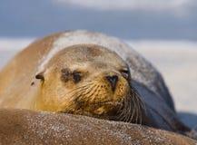 Πορτρέτο του λιονταριού θάλασσας galapagos νησιά ωκεάνιος ειρηνικός Ισημερινός στοκ φωτογραφία