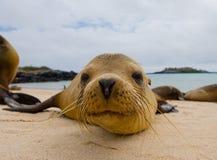 Πορτρέτο του λιονταριού θάλασσας galapagos νησιά ωκεάνιος ειρηνικός Ισημερινός στοκ εικόνα