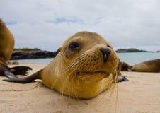 Πορτρέτο του λιονταριού θάλασσας galapagos νησιά ωκεάνιος ειρηνικός Ισημερινός στοκ εικόνες με δικαίωμα ελεύθερης χρήσης