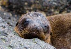 Πορτρέτο του λιονταριού θάλασσας galapagos νησιά ωκεάνιος ειρηνικός Ισημερινός στοκ εικόνες