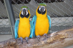 Πορτρέτο του κίτρινου και μπλε ζεύγους παπαγάλων Στοκ Εικόνες