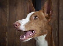 Πορτρέτο του καθαρής φυλής σκυλιού ibicenco Podenco στο εσωτερικό Στοκ εικόνες με δικαίωμα ελεύθερης χρήσης