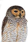 Πορτρέτο του καφετιού ξύλινου πουλιού κουκουβαγιών στοκ εικόνες