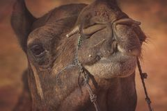 Πορτρέτο του κεφαλιού καμηλών σε Pushkar Στοκ φωτογραφία με δικαίωμα ελεύθερης χρήσης