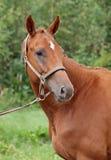 Πορτρέτο του κομψού αλόγου κάστανων Στοκ Εικόνες