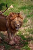 Πορτρέτο του κουρασμένου λιονταριού Στοκ Εικόνα
