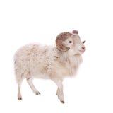 Πορτρέτο του κριού στο λευκό Στοκ φωτογραφία με δικαίωμα ελεύθερης χρήσης