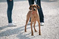 Πορτρέτο του κόκκινου σκυλιού Στοκ Φωτογραφίες
