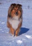 Πορτρέτο του κόλλεϊ σε ένα υπόβαθρο χιονιού Στοκ Φωτογραφίες