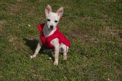 Πορτρέτο του μίγματος σκυλιών chihuahua μωρών pinscher με το παλτό στον κήπο Στοκ Εικόνες
