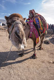 πορτρέτο του Μαρόκου καμηλών Στοκ Φωτογραφίες