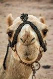 πορτρέτο του Μαρόκου καμηλών Στοκ φωτογραφία με δικαίωμα ελεύθερης χρήσης