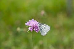 Πορτρέτο του μαύρος-φλεβώούς άσπρου crataegi Aporia πεταλούδων Στοκ φωτογραφία με δικαίωμα ελεύθερης χρήσης