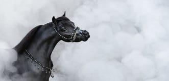Πορτρέτο του μαύρου αμερικανικού μικροσκοπικού αλόγου στον καπνό στοκ εικόνες