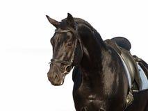 Πορτρέτο του μαύρου αλόγου Στοκ Εικόνες
