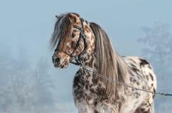 Πορτρέτο του μικροσκοπικού αλόγου Appaloosa στο χειμερινό τοπίο στοκ φωτογραφία