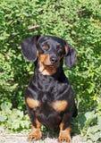 Πορτρέτο του μικρού μαύρου dachshund Στοκ εικόνα με δικαίωμα ελεύθερης χρήσης