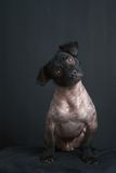 Πορτρέτο του μικτού περουβιανού σκυλιού Στοκ εικόνα με δικαίωμα ελεύθερης χρήσης