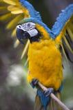 Πορτρέτο του μπλε-και-κίτρινου macaw (ararauna Ara) Στοκ Φωτογραφίες