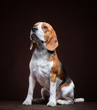 Πορτρέτο του νέου σκυλιού λαγωνικών Στοκ φωτογραφία με δικαίωμα ελεύθερης χρήσης