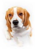Πορτρέτο του νέου σκυλιού λαγωνικών Στοκ φωτογραφίες με δικαίωμα ελεύθερης χρήσης