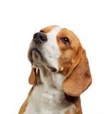 Πορτρέτο του νέου σκυλιού λαγωνικών Στοκ Εικόνα