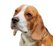 Πορτρέτο του νέου σκυλιού λαγωνικών Στοκ Φωτογραφία
