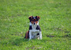 Πορτρέτο του νέου σκυλιού Στοκ Φωτογραφία