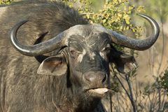 Πορτρέτο του παλαιού μασήματος αγελάδων βούβαλων ακρωτηρίων στοκ φωτογραφία με δικαίωμα ελεύθερης χρήσης
