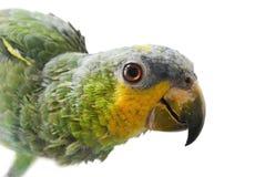 Πορτρέτο του παπαγάλου του Αμαζονίου σε ένα άσπρο υπόβαθρο Στοκ Φωτογραφία