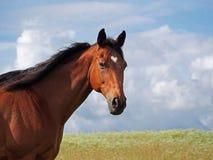 Πορτρέτο του παλαιού αλόγου κόλπων Στοκ εικόνες με δικαίωμα ελεύθερης χρήσης
