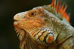 Πορτρέτο του πορτοκαλιού iguana στο σκούρο πράσινο δάσος, Κόστα Ρίκα Στοκ φωτογραφία με δικαίωμα ελεύθερης χρήσης