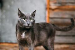 Πορτρέτο του ρωσικού μπλε γατακιού γατών στο παλαιό του χωριού αγροτικό σπίτι Στοκ Εικόνες