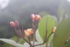 Πορτρέτο του ρόδινου λουλουδιού plumeria με το θολωμένο υπόβαθρο Εκλεκτική εστίαση φυσική εικόνα χρώματος ενάντια ανασκόπησης μπλ Στοκ Φωτογραφία