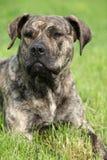 Πορτρέτο του σκυλιού καναρινιών Στοκ Εικόνες