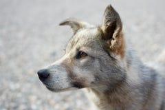 Πορτρέτο του σκυλιού με τα καφετιά μάτια Στοκ Εικόνες