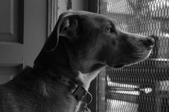 Πορτρέτο του σκυλιού που κοιτάζει επίμονα έξω την πόρτα οθόνης Στοκ Εικόνες