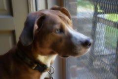 Πορτρέτο του σκυλιού της Tan που κοιτάζει επίμονα έξω την πόρτα οθόνης Στοκ εικόνα με δικαίωμα ελεύθερης χρήσης