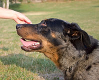 Πορτρέτο του σκυλιού Στοκ Εικόνα